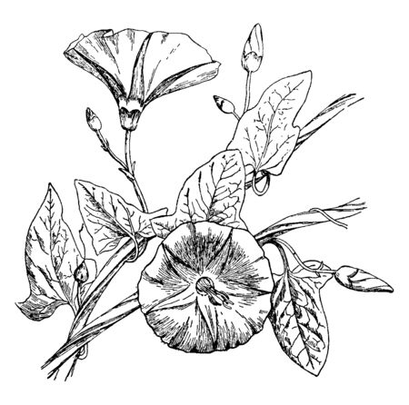 The Bindweed plant is spirally growing. The leaves slightly Saggitatte shaped and flower upper structure is rounded. There are some tiny buds, vintage line drawing or engraving illustration.