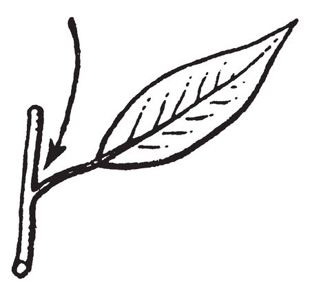 the upper angle between a branch and the stem from which it is growing, vintage line drawing or engraving illustration.