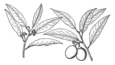 In this picture is the branch of Umbellularia californica tree. This tree meets most of the iceberg in the forest, vintage line drawing or engraving illustration.