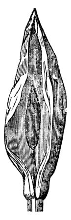 A picture shows the Spadix Plant. It is typically surrounded by a leaf-like curved bract known as a Spathe. It has small peduncle and flower cluster has Pistillate and Staminate flowers, vintage line drawing or engraving illustration.