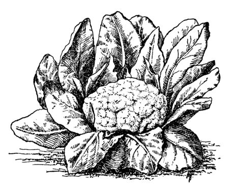 Cauliflower is healthy vegetable thats a significant source of nutrients, vintage line drawing or engraving illustration. Illusztráció