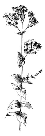 This picture shows Silene Armeria Plant. It is commonly known as the Sweet William catchfly, is a plant of the family Caryophyllaceae. A small-growing form is known as dwarf catchfly, vintage line drawing or engraving illustration. 일러스트