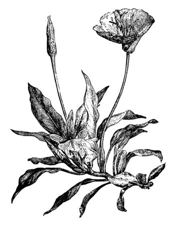 The flowers are large and yellow. The leaves are broad. It is a sprawling, Missouri native plant which occurs on limestone glades. Flowers arise from leaf axils and are generally upward-facing, vintage line drawing or engraving illustration. Illustration
