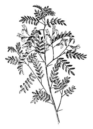 A picture shows the Viciifolia Sophora Plant. It has the pinnate leaves, made up of grayish green leaflets and colorful flowers. It belongs to pea family Fabaceae, vintage line drawing or engraving illustration. Ilustração