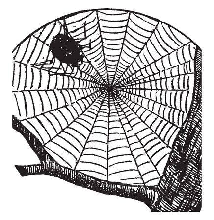 Cobweb is a spider web especially when old and covered with dust, vintage line drawing or engraving illustration.