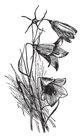 This is a flowering branch Campanula Rotundifolia. It has basal leaves with long stalk. Flowers are bell shaped with five petals, vintage line drawing or engraving illustration.