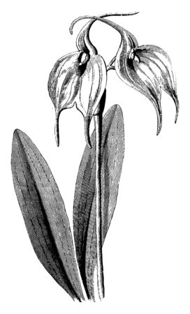 An illustration of leaves and flowers of Masdevallia tovarensis. The leaves color is dark green and almost of six inches and flowers growing in pair, vintage line drawing or engraving illustration.