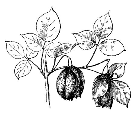 This picture is showing a shrub known as Staphylea trifolia mostly found in eastern North America, from southern Ontario and southwestern Quebec west to Nebraska and Arkansas and south to Florida, vintage line drawing or engraving illustration.  イラスト・ベクター素材