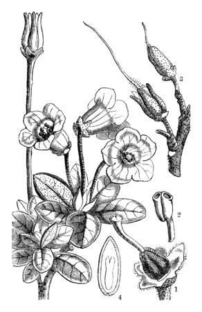This pictures showing a rhododendron. This is a part of flower. The stems are thick. This is showing anther growth. The leaves are thick and oval shapeded, vintage line drawing or engraving illustration.