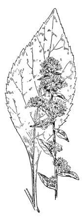 Stout Golden-Rod plant belongs to the sunflower family and native to eastern US and Canada, vintage line drawing or engraving illustration.