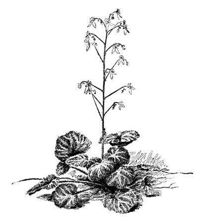 Saxifraga Sarmentosa is a perennial flowering plant. It is native to Asia, vintage line drawing or engraving illustration.