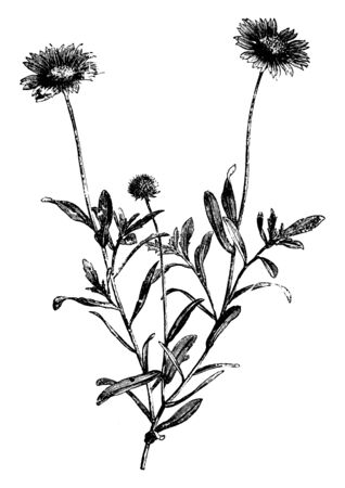 Gaillardia Aristata Grandiflora belongs to the sunflower family and in this picture its branch is showing with leaves and flowers, vintage line drawing or engraving illustration.