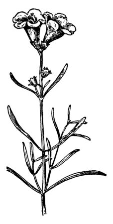 A picture is showing Sea-Side Gerardia, also known as Gerardia maritima. It belongs to Figwort Family. It is slender annual herb. Leaves are narrow and flowers are purple and funnel shaped, vintage line drawing or engraving illustration.  イラスト・ベクター素材