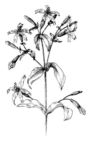 Silene virginica is a tufted perennial wildflower with narrow lance-shaped leaves. This species usually occurs on sloped or barren areas without an abundance of other vegetation, vintage line drawing or engraving illustration.