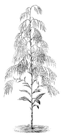 The image shows a humea elegans with its flower heads. It has large leaves and erect graceful plumes of drooping small pinkish flowers, which emit a peculiar odour, vintage line drawing or engraving illustration.