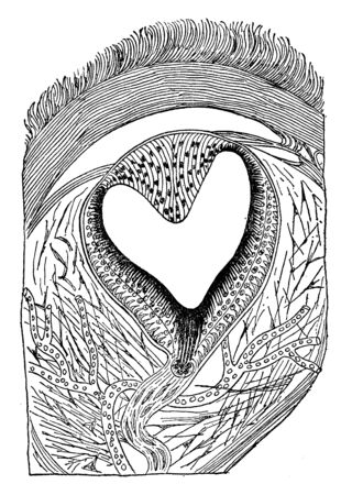 Eye of a Lizard where the eye is located in the middle of the dorsal side of the head and is covered by the translucent scaled, vintage line drawing or engraving illustration.