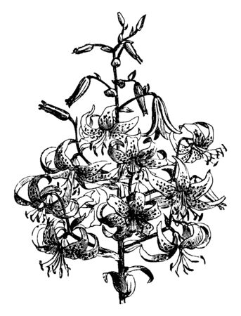 This is the flowers of Lilium Tigrinum Splendens plant. There are twenty-five flowers on a stem, vintage line drawing or engraving illustration.  イラスト・ベクター素材