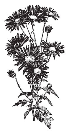 Single blooms have exposed disk florets and one to seven rows of ray florets, vintage line drawing or engraving illustration.