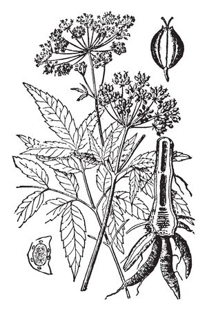 Picture shows the Hemlock plant. It is a tall, much branched and gracefully growing plant, with elegantly-cut foliage and white flowers. Fruit is small, ridged, compressed laterally and smooth, vintage line drawing or engraving illustration. Illustration