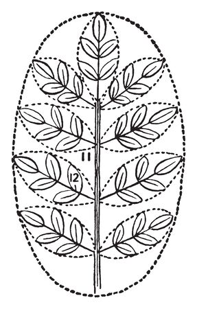 A Image of Compound Leaves. The Leaves are Palmately Compound with Five leaflets on Stem, vintage line drawing or engraving illustration.