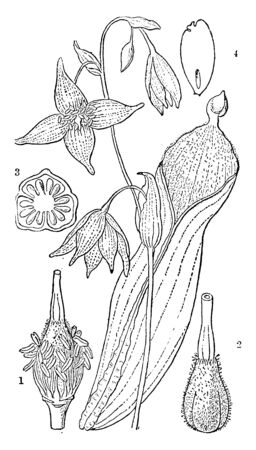 A picture is showing stamens, pistil, latter separate and cross section of the ovary and perpendicular section of a seed, vintage line drawing or engraving illustration.