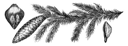 A Picture showing is a fruiting branch and scale with seeds in position, and the seed of the burgundy pitch tree, vintage line drawing or engraving illustration.