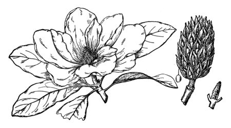 A picture shows the Flower of Southern Magnolia Flower. It is a broadleaf evergreen tree that is noted for its attractive dark green, ovate leaves and its large, extremely fragrant flowers, vintage line drawing or engraving illustration. Illustration