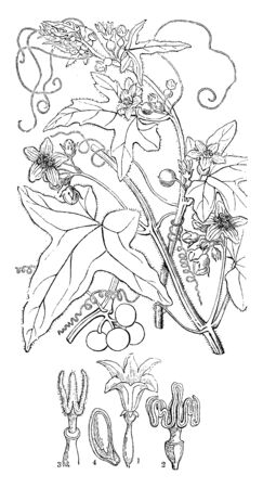 Red Bryony is a species of Cucurbitaceae family. The plant vine produces a red berry fruit. In this picture are bud, structure, anther, and stigma, vintage line drawing or engraving illustration.