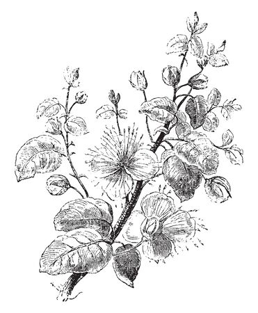 A genus (Capparis of the family Capparidaceae), the caper family of low prickly shrubs of Mediterranean region. These are cultivated for its buds which are used as a seasoning or garnish, vintage line drawing or engraving illustration. Reklamní fotografie - 132858603
