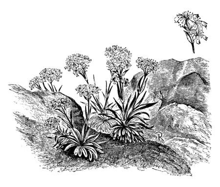 Lychnis Alpina is a flowering plant. It has bright-pink flowers and grassy leaves, vintage line drawing or engraving illustration. Illustration