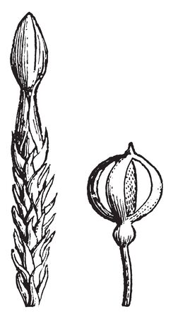 This image shows Andrea. A genus of mosses constituting the natural order Andreace, intermediate between the Sphagnace, vintage line drawing or engraving illustration.