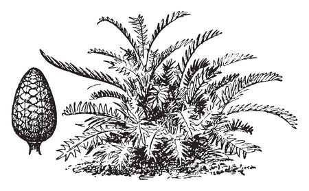 A picture shows Arrowroot Plant. It comes from a starch derived chiefly from the roots and it is also known as Maranta arundinacea and grains of seVeral plants used as an article of food, vintage line drawing or engraving illustration. Çizim
