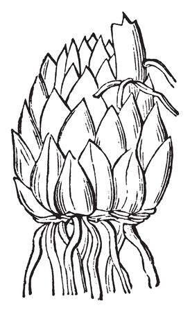 A picture showing scaly bulb of a Lily. Lily flower are very showy and there are mostly found in garden, vintage line drawing or engraving illustration. 일러스트