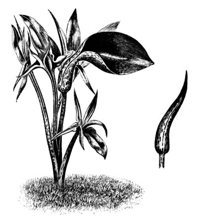 It is a dark and purple brown color. It's an ornamental plant native to the northwestern Mediterranean region, vintage line drawing or engraving illustration.