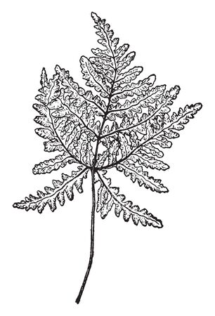 A picture showing Ceropteris Triangularis branch. The leaf of this branch is two to five inches long and wide. Leaves are irregular and odd shaped, vintage line drawing or engraving illustration. 向量圖像