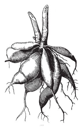 A picture of Dahlia roots which looks like a bunch of brown carrots, and the stems sprout directly from the tubers, vintage line drawing or engraving illustration.