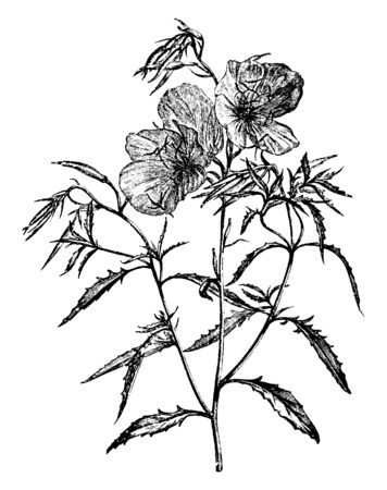 The plants wild habitat includes rocky prairies, open woodlands, slopes, roadsides, meadows and disturbed areas while it makes an attractive garden plant. The flowers bloom March to September, vintage line drawing or engraving illustration. Ilustração