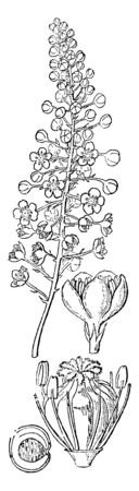 The picture is showing parts of poke plant. Its flower part are stamens and pistil, Bud, and section of seed, vintage line drawing or engraving illustration. Иллюстрация