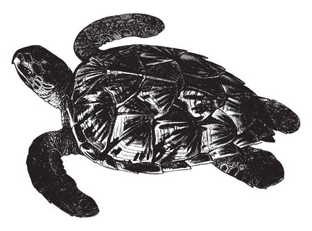 Imbricated turtle is the only extant species in the genus Eretmochelys, vintage line drawing or engraving illustration.