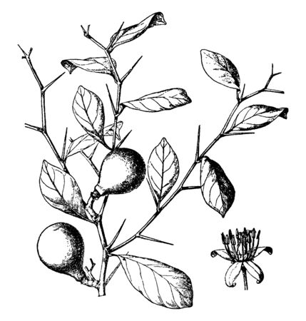 Aeglopsis Chevalieri is small and spiny tree. The leaves are long and simple, vintage line drawing or engraving illustration. 일러스트