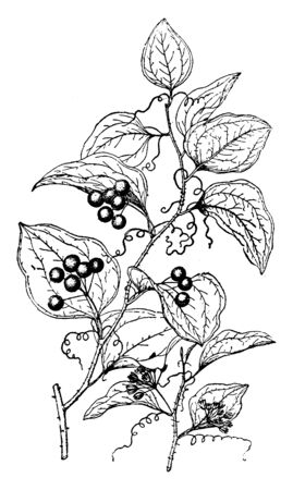 This picture belongs to a plant called Smilax Glauca, a vine associated with the Smilarcaceae family, whose leaves are gray and white, vintage line drawing or engraving illustration.