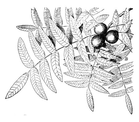 Juglans Californica is a small tree with compound leaves. It belongs to a walnut family. Fruit is round, vintage line drawing or engraving illustration.