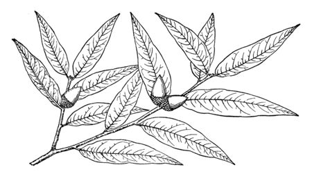 Picture shows the branch of Quercus Hypoleuca plant. Quercus Hypoleuca is a small to medium-sized semi-evergreen to tardily deciduous tree growing to a maximum height of around 50 feet, vintage line drawing or engraving illustration.
