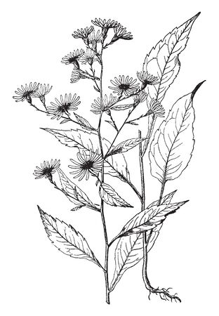 Each branch has flowers on its head and leaves attach to direct stem they are very large size, serrate type, vintage line drawing or engraving illustration.