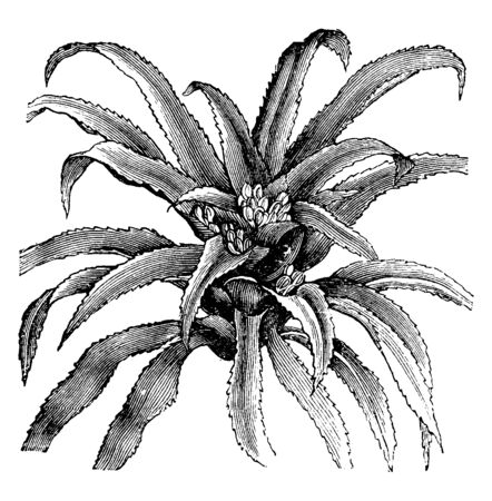 The flowering plants Karatas Scheremetiewi is commonly known as Bromeliads in family Bromeliaceae. Almost 3475 known species found in tropical Americas, vintage line drawing or engraving illustration. Illustration