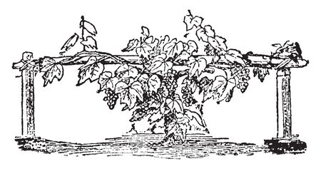 Picture of a grape vine hanging on a pole tied on two pillars with a lot of grapes, vintage line drawing or engraving illustration.
