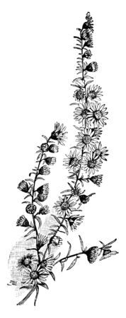 Its leaves are narrow, and at the end of the branches are small and flowers are small, vintage line drawing or engraving illustration.