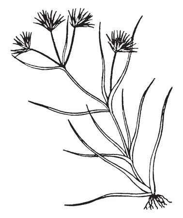 The genus of monocotyledonous flowering plants is Juncus, also known as rushes. In this image roots along with the stem, leaves stiff and often fascicles, vintage line drawing or engraving illustration. Vectores
