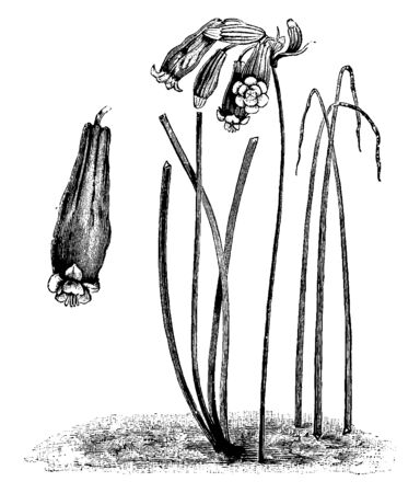 The cluster in many flowers with tabular. It has green strap-like leaves. The plant stem is straight and long, vintage line drawing or engraving illustration.