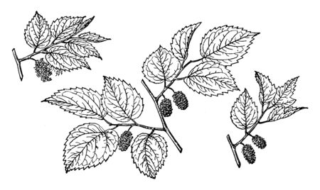 Mexican Mulberry also known as Morus Celtidifolia. It is native to South America. Fruits are red and black coloured, vintage line drawing or engraving illustration. Çizim
